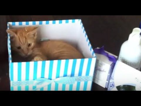 Super Cute Kitten Chasing Her Tail -  Episode 1 - Autumn the Ginger Ninja kitten loving the box that is supposed to be for the christmas presents #Ginger #Kitten #Video