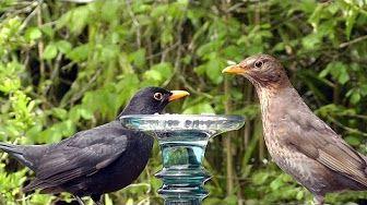 Male and Female Blackbird - Birds on Display - YouTube