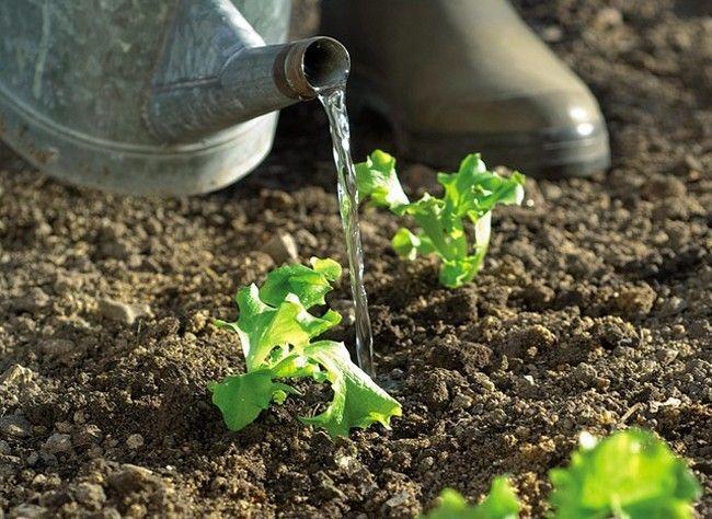 Comment arroser les légumes, variété par variété