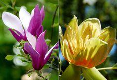 Liliomfa vs. tulipánfa: mi a különbség?   Hobbikert.hu