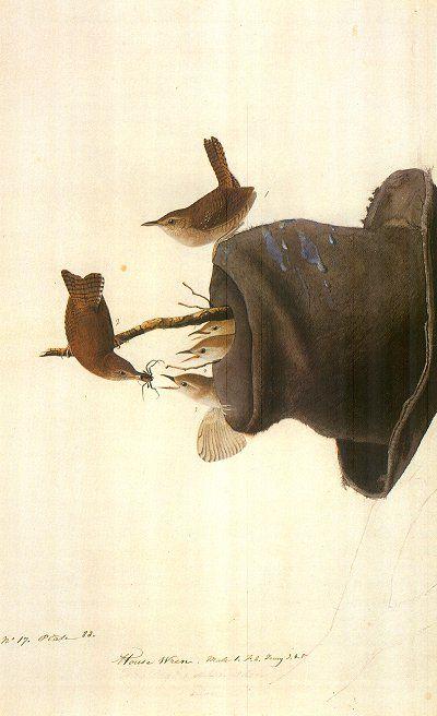 House Wren, by John James Audubon