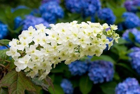 Tips voor het herkennen van soorten Hortensia's