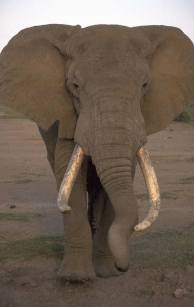 Did you know? An elephant may go through six sets of teeth in its lifetime.