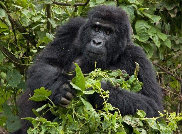 Mil palavras sobre os admiráveis gorilas-de-montanha de Uganda (Foto: © Haroldo Castro/ÉPOCA) - http://epoca.globo.com/colunas-e-blogs/viajologia/noticia/2014/09/bmil-palavrasb-sobre-os-admiraveis-bgorilas-de-montanha-de-ugandab.html