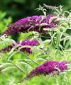 Buy Buddleia Plants Butterfly Bushes - Buddleia davidii | Trees By Post