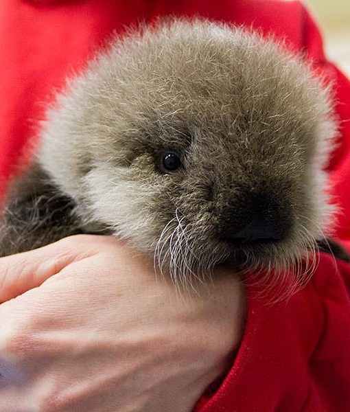An orphaned sea otter pup at the Alaska SeaLife Center is seen looking quite fluffy and cute. She has adjusted well and is even sometimes mischievous. So cute!