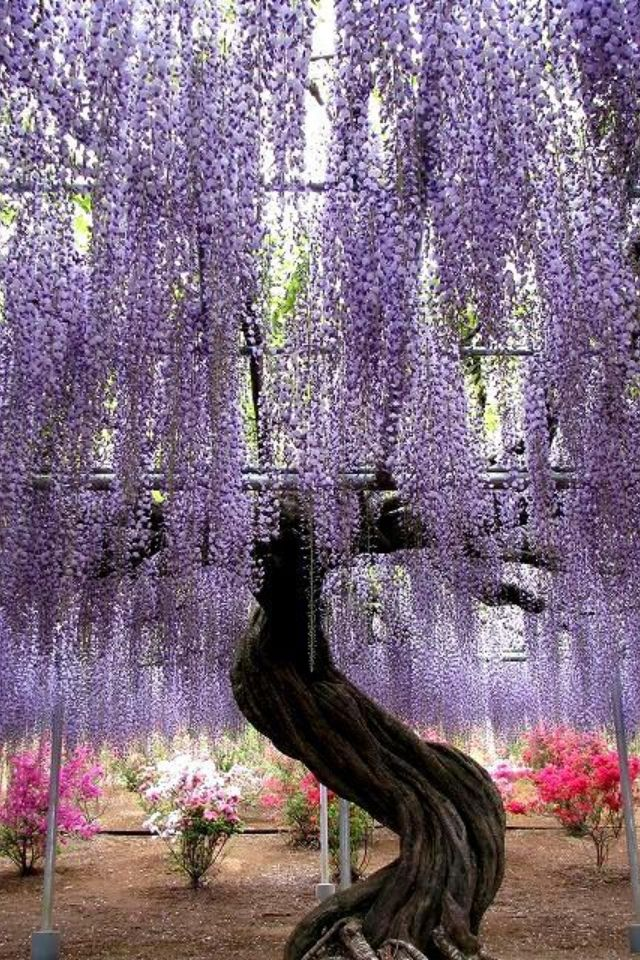 Purple Willow Tree Flowers And Trees Pinterest