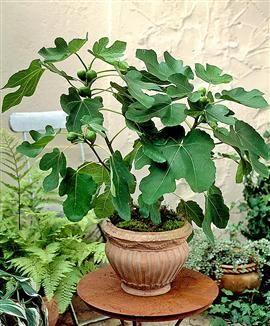 De vijgenboom – zonliefhebber en snelgroeiende lekkernij