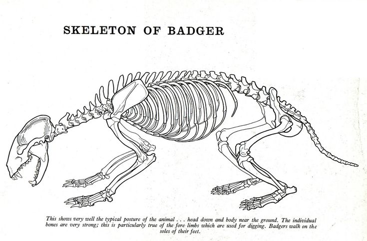 Badger Skeleton Google Search Final Drawing