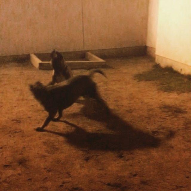 #playtime 🐶🐶 #fridaynight #boxer #dog #boxerworld #instaboxer #boxersofinstagram #bandog #canecorsomix #bandoggesofinstagram #mastiffgram #besties #botherandsister #famiglia #nonewfriends