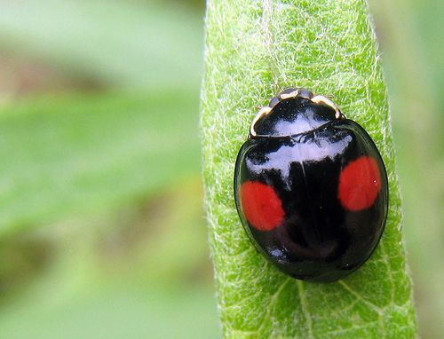 Black Ladybugs With Red Spots