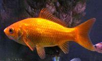 The Common Goldfish