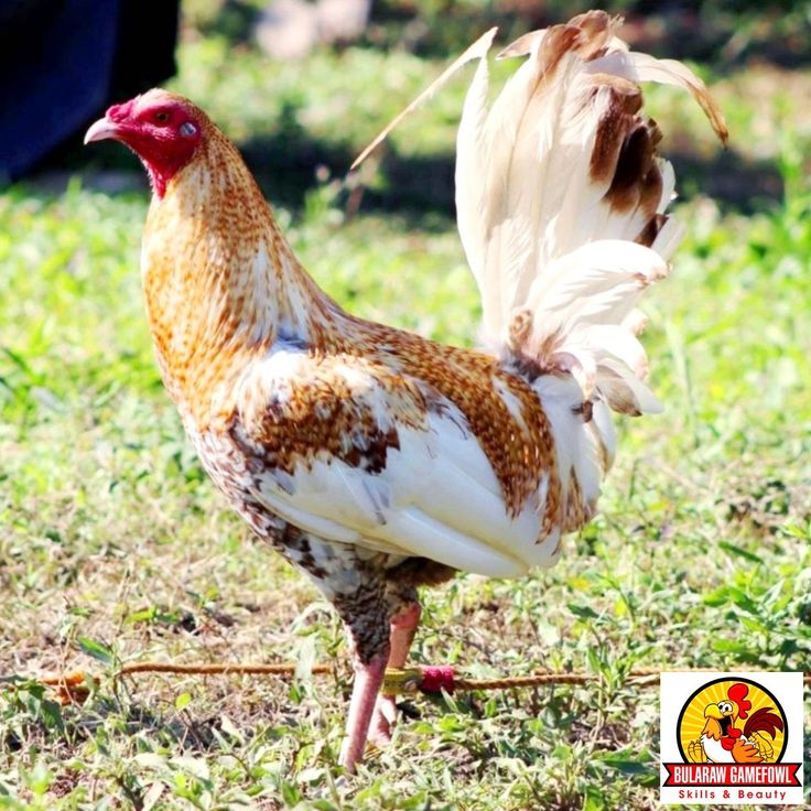 Dom Game Roosters Farms « Super online casinos