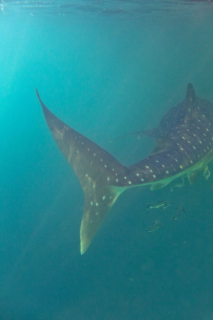 Snorkeling with Whale Sharks at Derawan Islands // localadventurer.com