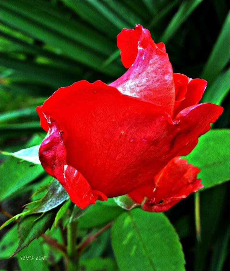 Róża... :)