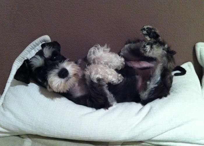 My significant other is adamant that one day when we grow up and get a house and a puppy it HAS to be a schnauzer. I can kind of see where he's coming from.