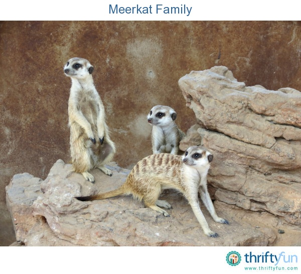 Photo of a meerkat family taken at Mystic Monkeys and Feathers.