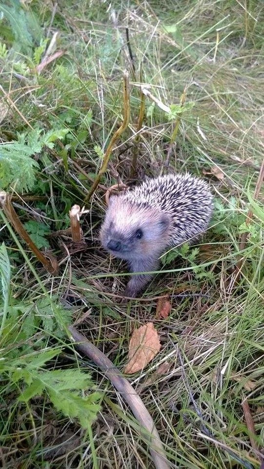 Cute to see one in the wild. Hedgehogs are the current hipster pet.