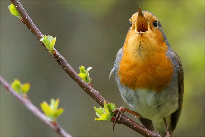 Stunde Der Gartenvogel Vogelfuhrer Apps Nabu Rotkehlchen Vogel Des Jahres Tiere