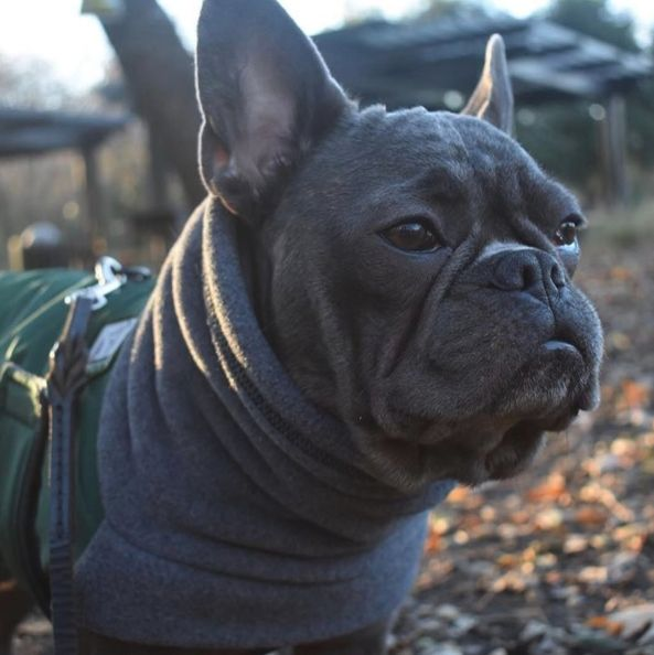 Donatello (Donny) the French Bulldog, loves wearing his Green Winter Coat to keep warm and dry while he plays outside. Visit www.k9apparel.com to see all our products! Dog coats, rain coats, winter coats, booties and hoods!