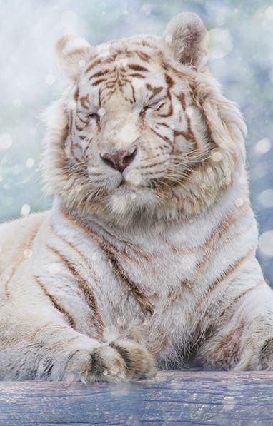 White tiger in snow ✿⊱╮