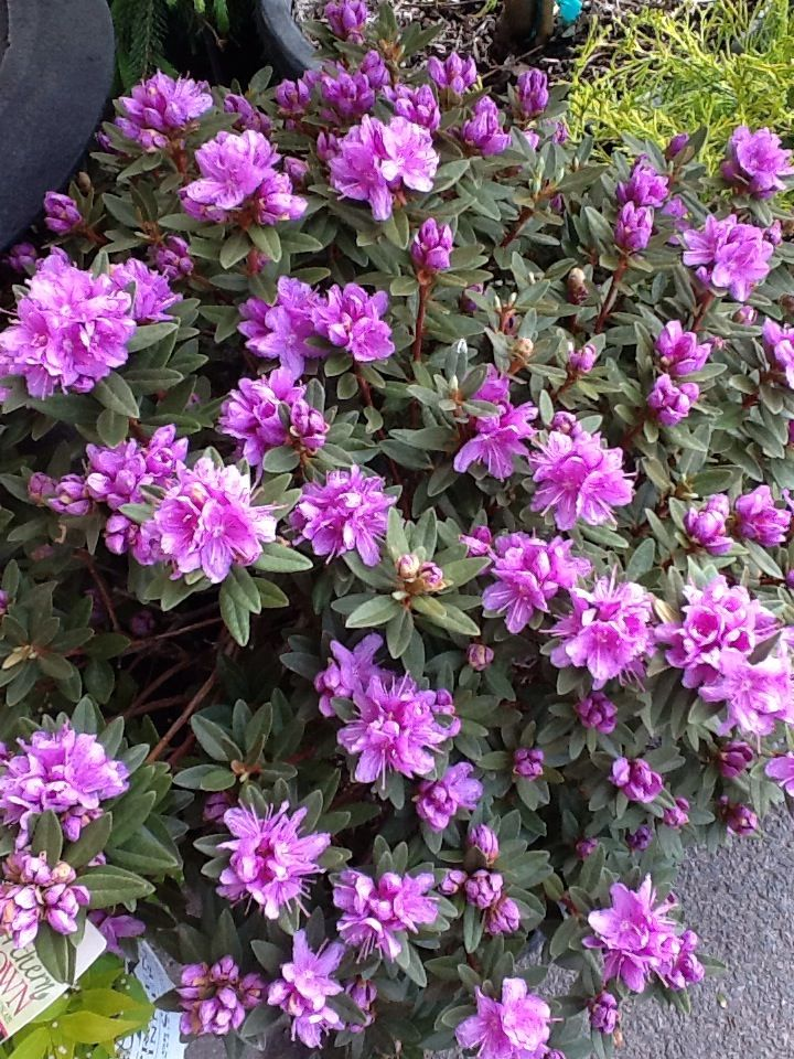 rhododendron 'Purple Gem'. And it is. | Plants Plants