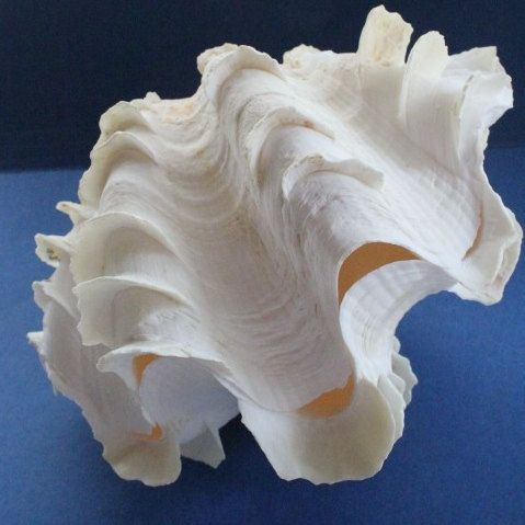 "Super big 18-24"" clam shell with the funny ridges all over it www.annamariaislandhomerental.com Facebook: Anna Maria Island Beach Life Twitter: AMIHomerental"