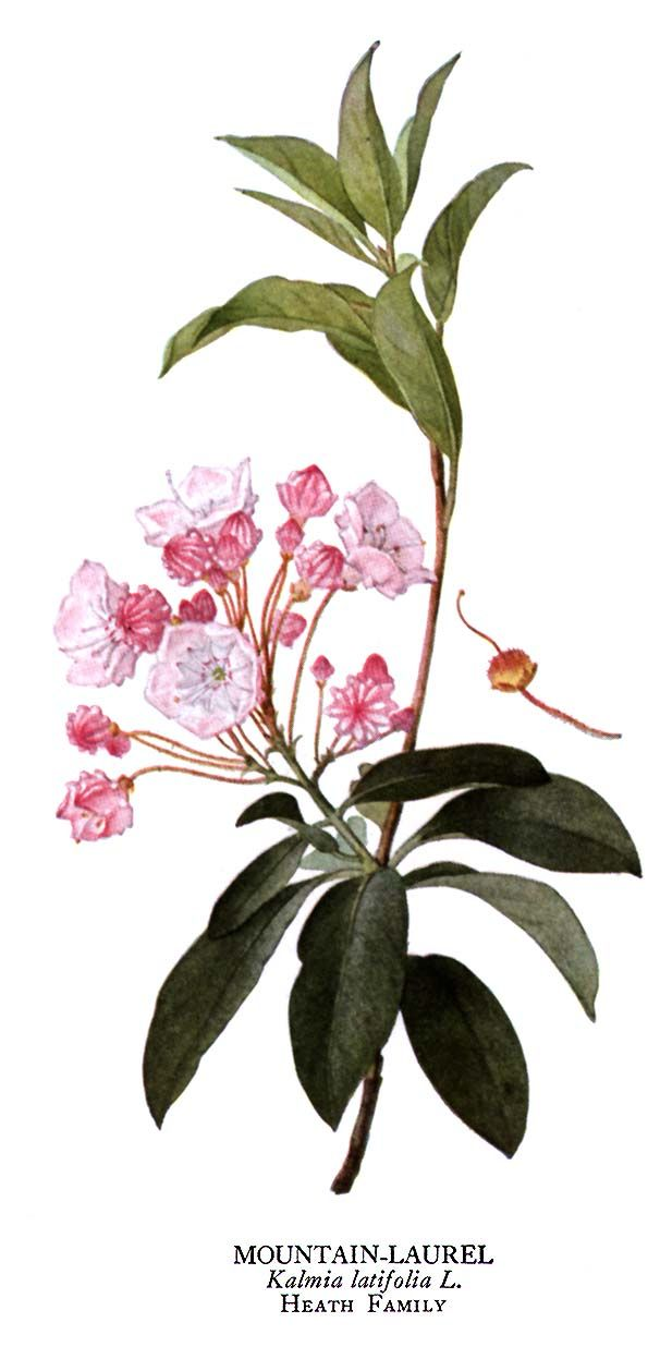 Image result for botanical drawing flowering laurel