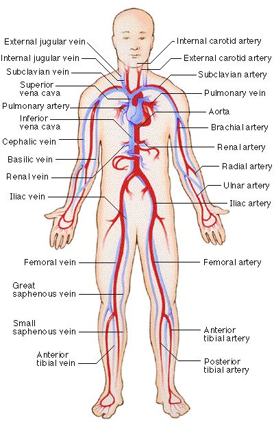 arteries & veins