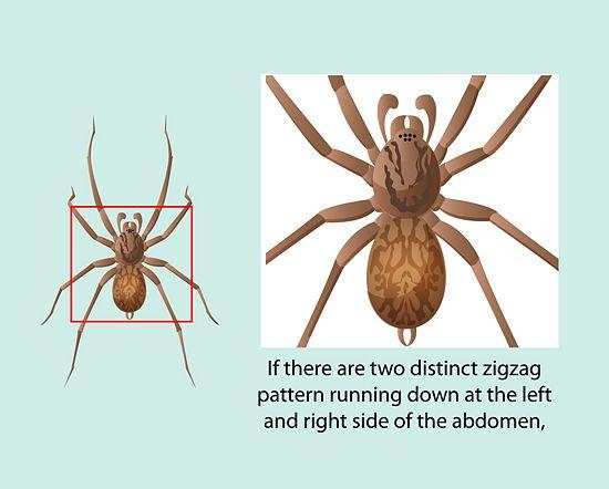 Identify a Hobo Spider | Spider