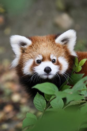 Beautiful Red Panda!