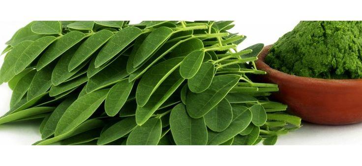 #Moringa. Moringa es un árbol de climas tropicales y subtropicales, originario de India. El extracto de moringa es rico en ácidos grasos insaturados, parecidos a los del aceite de oliva. El extracto de moringa contiene: calcio – 17 veces más que la leche, potasio – 15 veces más que el plátano, vitamina A – 4 veces más que la zanahoria, hierro – 25 veces más que las espinacas y vitaminas C y E. El crecimiento del cabello requiere optima ejecución de oxigeno y... | TeQuieroBio.com