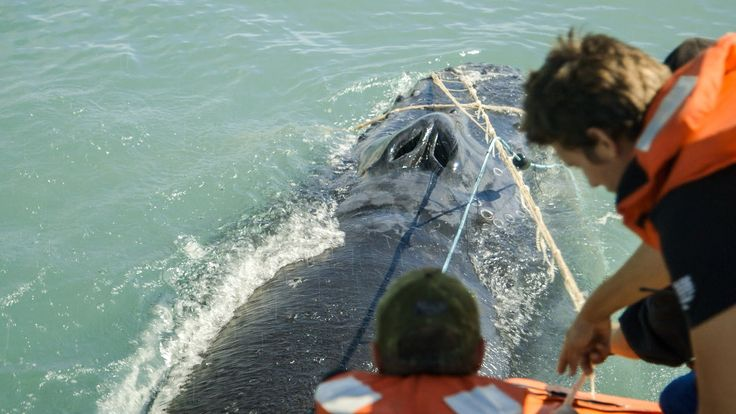 Sea Shepherd Crew Save Humpback Whale Entangled in Illegal Gillnet  Published on Feb 23, 2016 Sea Shepherd crew rescued a whale entangled in an illegal totoaba gillnet in the Gulf of California. Sea Shepherd currently has two vessels in Mexico's Gulf of California on OPERATION MILAGRO. Our goal is to save the vaquita porpoises, the most endangered marine mammal. The vaquita are caught as a result of fishing the totoaba, a fish poached for its swim bladder.