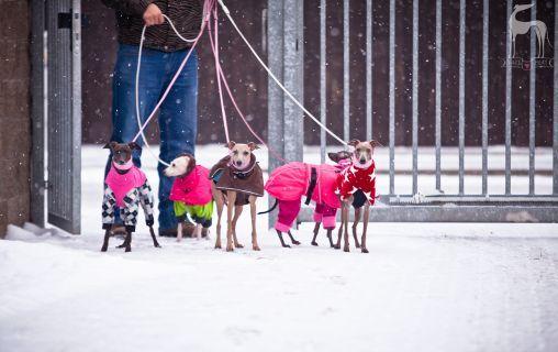 Charcik włoski ubranie #italiangreyhound #charcikwloski