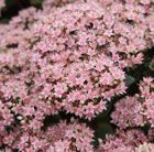Sedum matrona: Stout, statuesque and upstanding with fleshy large leaves that colour up from pigeon grey to smoke purple in dry weather, followed by pale pink stars.