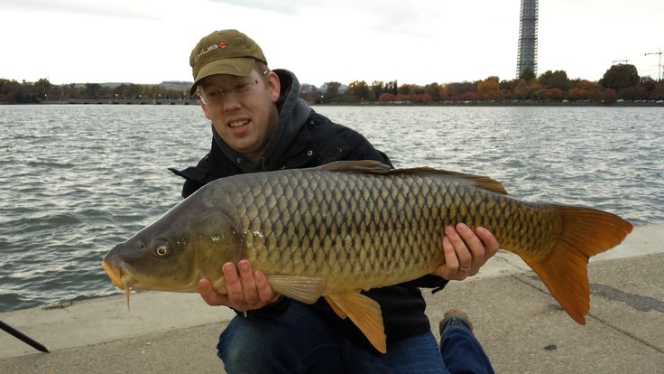 A nice 26.5 lb common carp I caught from the Tidal Basin in front of the Jefferson Memorial in Washington DC.