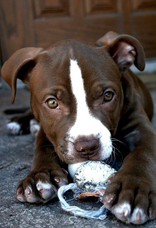 Seriously, look at this face. Anyone who says this cutie is a danger to our homes clearly had never owned a pit bull. It's not the breed that's vicious, it's the human holding the other end of the leash.