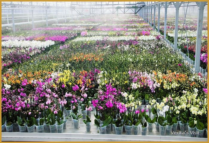 Orchids in different stages of their lives as ar as the eyes can see #Westland #greenhouse #Holland #flowers