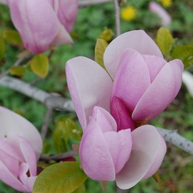 How to grow a Magnolia bush | Fact: Magnolia bushes fit even where magnolia trees can't.
