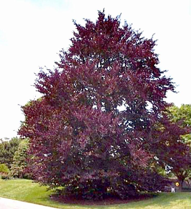 Purple beech tree leaves q g trees amp large shrubs on pinterest