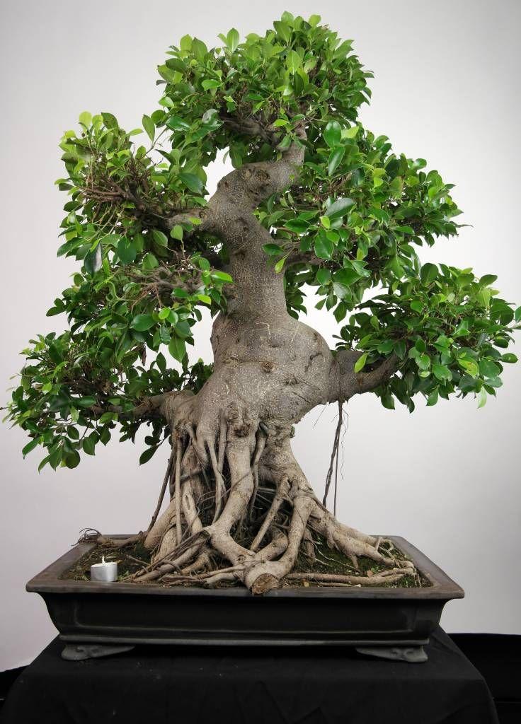 Bonsai fig tree ficus retusa pinterest for Bonsai tree pics