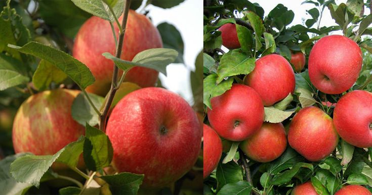 "Learn how to grow Honeycrisp apple tree. Honeycrisp apples are growing in popularity for their exceptional freshness, sweet taste and crisp and juicy flavor. They are a cross between ""Macoun"" and Honeygold"" apples."
