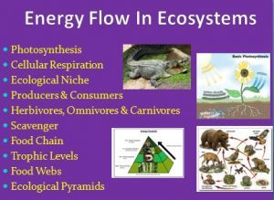 Energy Flow in Ecosystems. This 2-3 DAY package includes the lesson, a Food Web Activity/Assignment, Designed for Middle/Secondary classes but can easily be adapted to fit an Elementary classroom. Please view the Preview File. In order, the lesson covers: - Photosynthesis - Cellular Respiration - Ecological Niche - Producers & Consumers - Herbivores, Omnivores & Carnivores - Scavenger - Food Chain - Trophic Levels - Food Webs - Ecological Pyramids