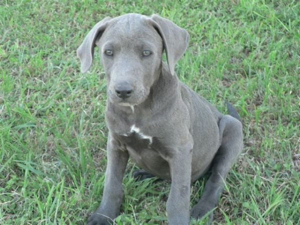 blue lacy puppy one day cur dogs pinterest