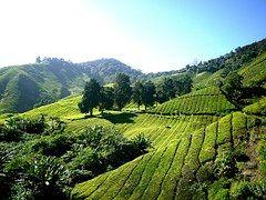 Tea Plantation, Tea Farm, Tea