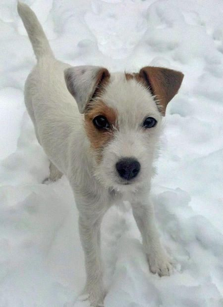 """""""Hana"""" - Jack Russell Terriers - Smarter than the average American and definitely more active!!"""