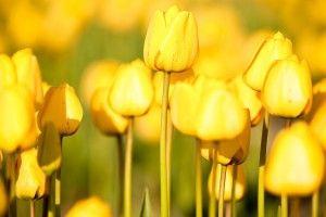 Yellow Tulips Flowers Field HD Wallpaper