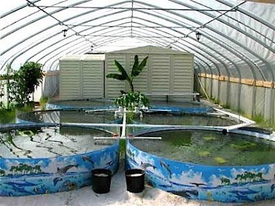 Indoor aquaculture uganda teso pinterest aquaponics for Hydroponics in koi pond