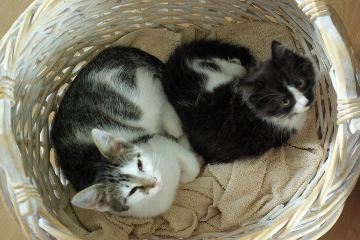 Two rescue kittens Nysä and Neela curled up in a basket.