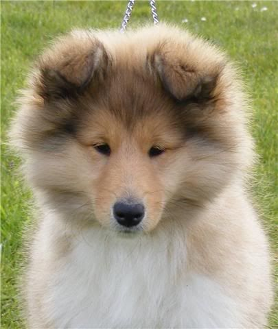 Puppies FOR SALE!!!! - CARONLEA ROUGH COLLIES